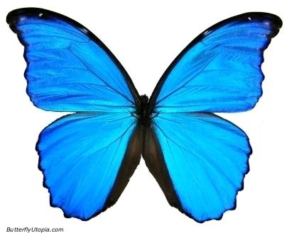 [FC] Mausoleum of butterflies Blue-morpho-butterfly-animals-twist-2